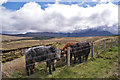 NG4128 : Cattle and the Cuillin by Richard Dorrell
