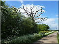 TF1303 : Dead tree on the road to Woodcroft Lodge near Marholm by Richard Humphrey