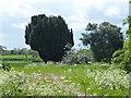 TF1303 : Large conifer on Woodcroft Road, Marholm by Richard Humphrey