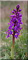 NM4783 : Early Purple Orchid (Orchis mascula) by Anne Burgess