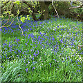 SE7281 : Bluebell patch by Pauline E