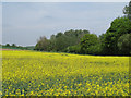TL8446 : Looking to a wooded boundary on an oilseed rape field, Glemsford by Roger Jones