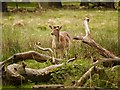 SJ7487 : The Deer Park at Dunham Massey by David Dixon