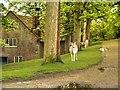 SJ7387 : Deer Outside the Sawmill, Dunham Massey Estate by David Dixon