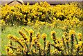 J4873 : Whin bushes, Newtownards (May 2014) by Albert Bridge