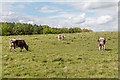 TL4201 : Longhorn Cattle near Copped Hall, Essex by Christine Matthews