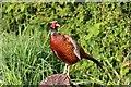 SO7740 : Cock Pheasant by Bob Embleton