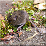 J3271 : Mouse, Belfast by Rossographer