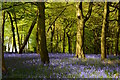 SU6782 : Bluebell woodland in Checkendon, Oxfordshire by Edmund Shaw
