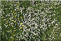 SO7641 : A carpet of daisies in Berrington Quarry by Bob Embleton