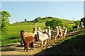 SK0166 : Alpacas in Staffordshire by John Winder