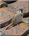 TA1973 : Male tree sparrow by Pauline E