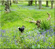 NH5857 : At the top of the circular walk of Drummondreach Wood by Julian Paren
