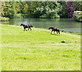 SP5241 : Horses by the Lake, Thenford Arboretum by David P Howard