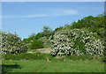 SO8798 : Hawthorn trees in meadows near Compton, Wolverhampton by Roger  Kidd