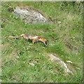 TA0589 : Fox on the cliffside by Pauline E