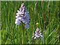 SO1103 : Common Spotted orchids, Cwmllwydrew Meadows Nature Reserve by Robin Drayton