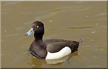 J4774 : Tufted duck, Kiltonga, Newtownards - May 2014(1) by Albert Bridge