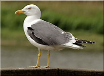 J4774 : Lesser black-backed gull, Kiltonga, Newtownards (May 2014) by Albert Bridge