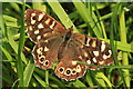TL5671 : Speckled Wood (Pararge aegeria), Wicken Fen by Rob Noble