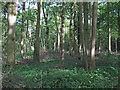 TM1550 : Rede Wood, Barham  by Roger Jones