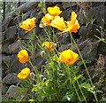 SD9321 : Welsh poppies growing on a garden wall, near Winterbutlee Lock, Rochdale Canal by Linden Milner