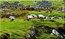 F6307 : County Mayo - Achill Island - Deserted Village - Grazing Sheep & Derelict Cottage by Suzanne Mischyshyn