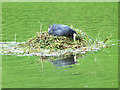 NZ1001 : Coot's nest by Oliver Dixon