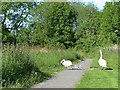 SP2964 : Crossing patrol: the swans take their cygnets to the water by Robin Stott
