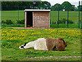 NY3551 : Recumbent llama by Rose and Trev Clough