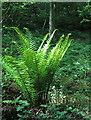 SD4079 : Fern in Eggerslack Wood by Humphrey Bolton