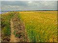 TA2469 : Barley Field, South Cliff, Flamborough by Scott Robinson