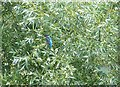 SP9012 : Wilstone Reservoir - Kingfisher in the bushes by Rob Farrow
