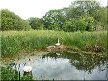 SU7251 : Swan family, Basingstoke Canal by Robin Webster