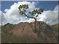 NY4201 : Bonsai oak on a rock by Karl and Ali