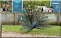 SD3335 : Peacock at Blackpool Zoo by Gerald England