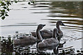 TQ3094 : Mute Swan Cygnets, Grovelands Park, London N14 by Christine Matthews