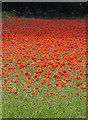 SE8675 : A blaze of poppies by Pauline E