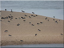 SD1678 : Oystercatchers, Haverigg Harbour by Richard Law