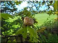 NS3878 : Oak apple by Lairich Rig