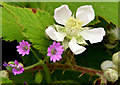 J3775 : Bramble flower and crane's bill, Sydenham, Belfast (June 2014) by Albert Bridge