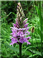 NZ0186 : Orchid on south bank of Wannie Line cutting by Andrew Curtis