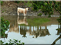 SE7262 : One calf - many reflections by Chris Allen