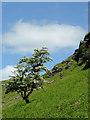SN8454 : Hawthorn on the hillside, Cwm Irfon, Powys by Roger  Kidd