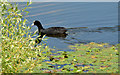 J3276 : Coot and water lilies, the Waterworks, Belfast (June 2014) by Albert Bridge