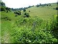 TQ0411 : Viper's bugloss next to a path by Marathon