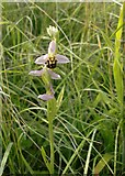 TQ1450 : Bee orchids at Ranmore (4) by Stefan Czapski