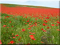 TF7720 : Poppies on Massingham Heath, Norfolk by Richard Humphrey