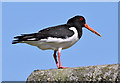 NT5578 : An oystercatcher at East Fortune by Walter Baxter
