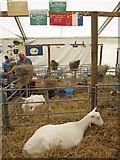 NT1473 : The best goat at the 2014 Royal Highland Show by Graham Robson